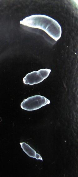 tapeworm larvae